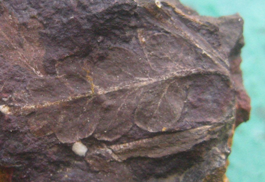 Carbon dating plant fossils images
